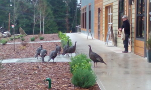 Wild turkeys travel in gangs